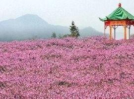 春游踏青好去处,花花世界—-凤凰山!