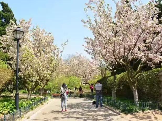 4月18-23日青岛樱花、杜鹃花6日游