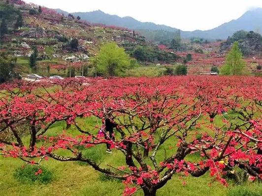 【桃花盛放,只等你来拍】3月12连平赏花