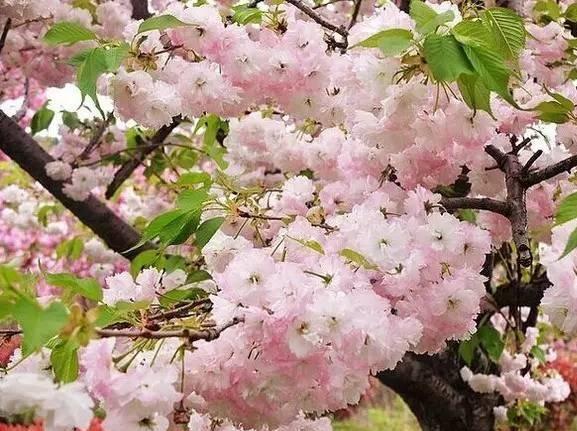 4.22章水茅镬-杖锡樱花