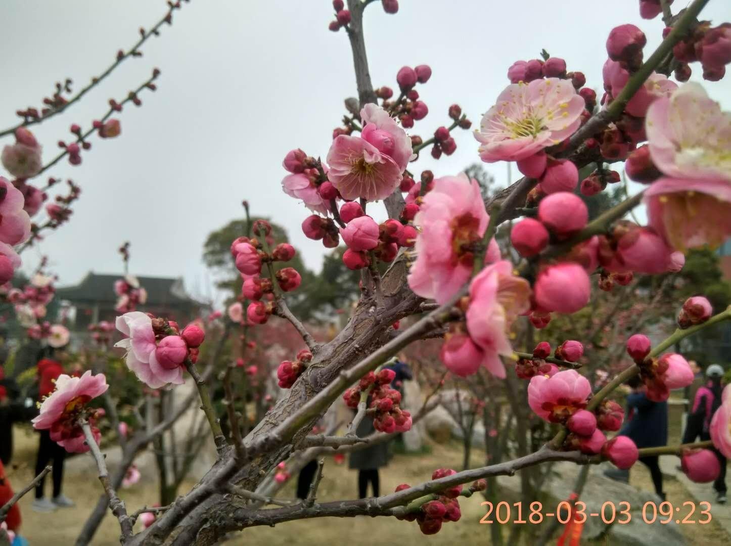 3月11(周日)徐州赏梅花,5A云龙湖