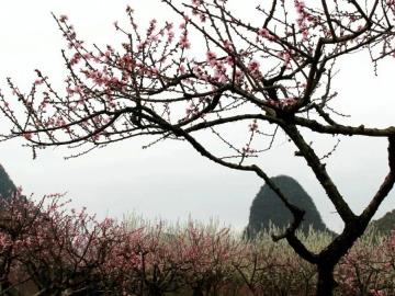 3月31日海洋看桃花赏梨花