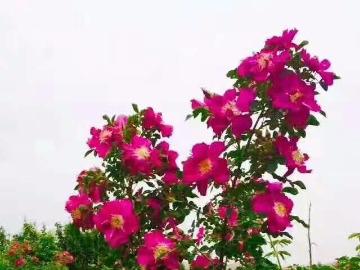 相约玫瑰园