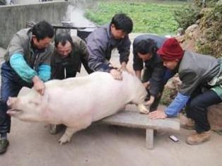 冬至日 杀土猪吃杀猪饭烤红薯 偷闲一日游