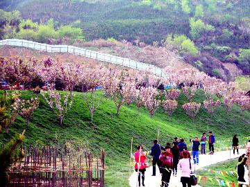 3月24号木兰花谷赴一场与樱花的约会