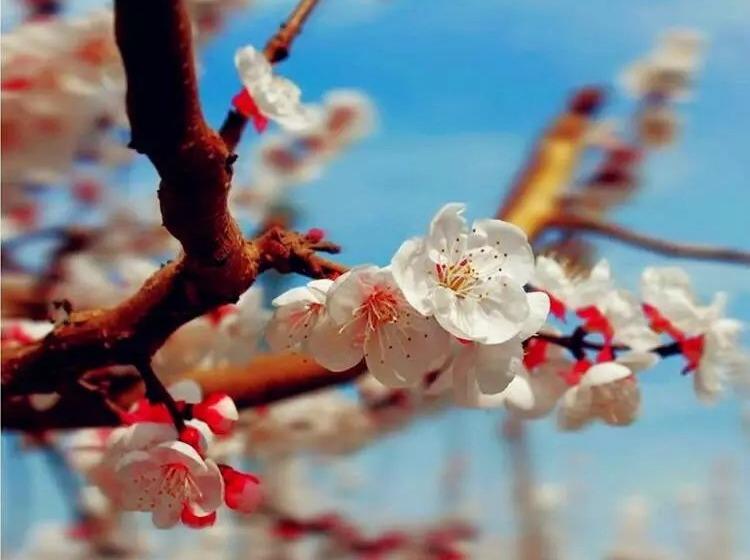 """""""寻找春天""""吐鲁番托克逊杏花节约起来!"""