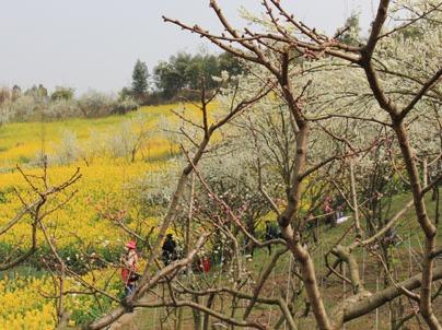 抓住春天的脚步——花园沟李子花