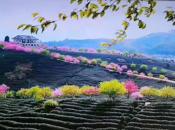 """2月3-4日去大陆的""""阿里山""""赏樱花"""
