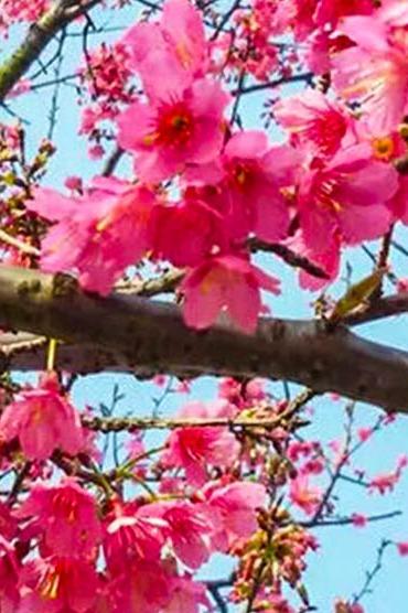 3月4日   自驾游看樱花(免门票)