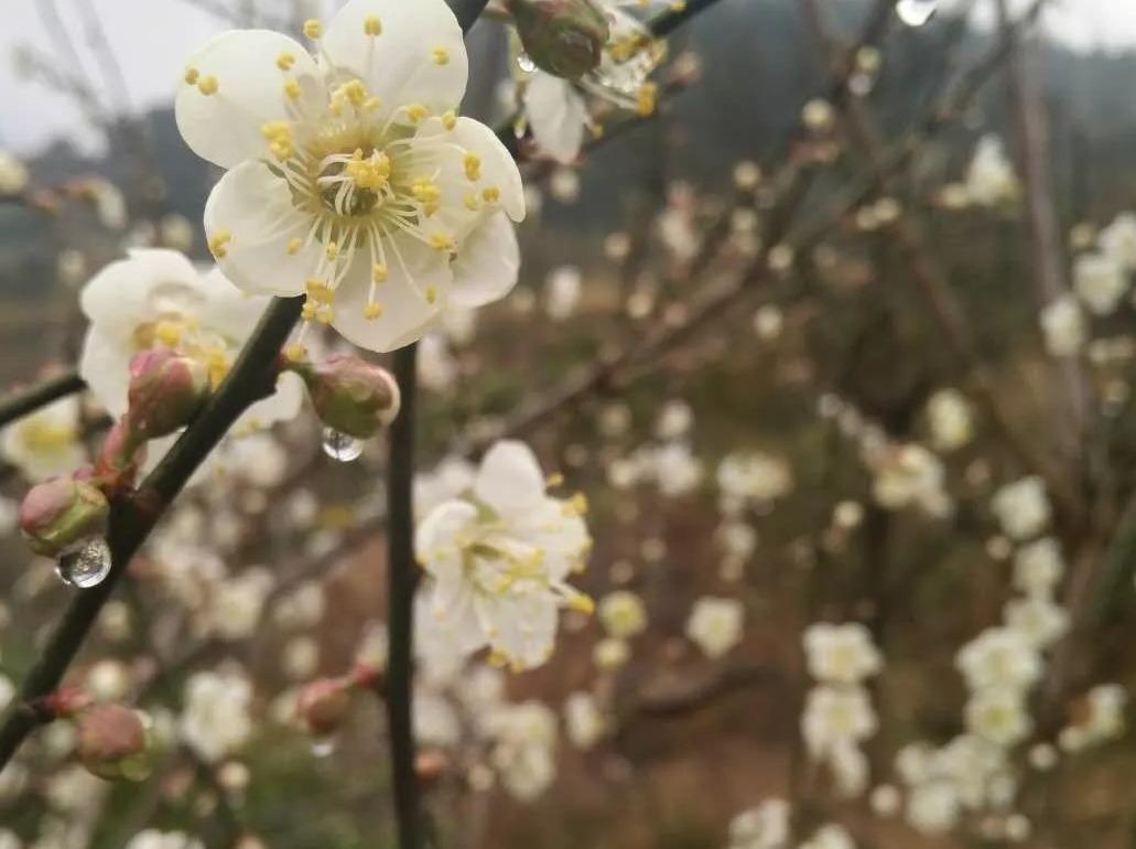 自驾欣赏梅花活动
