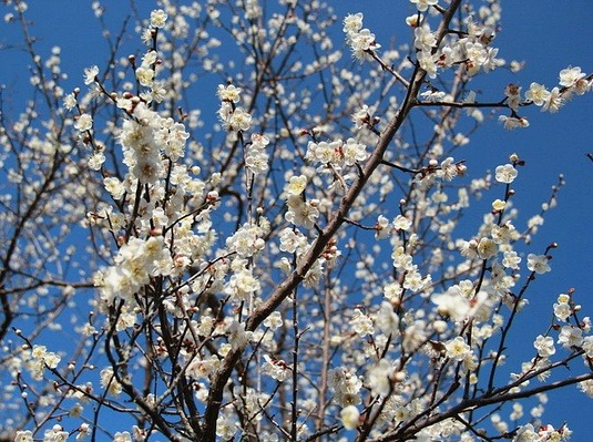 每周六、日御景峰赏梅