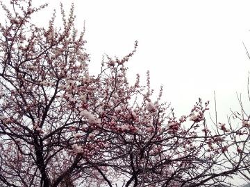 3.16、3.17两期俩线路赏杏花