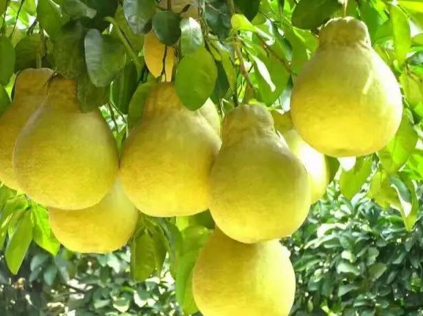 11月24容县摘柚子、民国小镇1日游