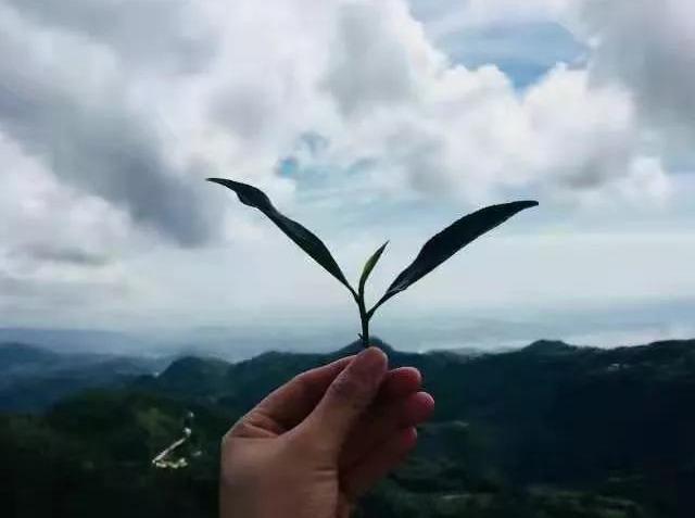 寻茶记——福鼎白茶茶山行双飞四日游