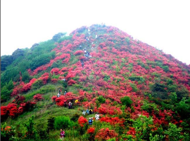 从化通天蜡烛山爬山 看漫山杜鹃赏花