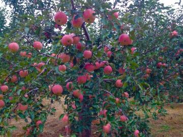 自驾露营采摘苹果
