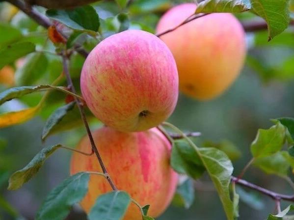 10月14日相约盐锅峡摘红富士冰糖心苹果