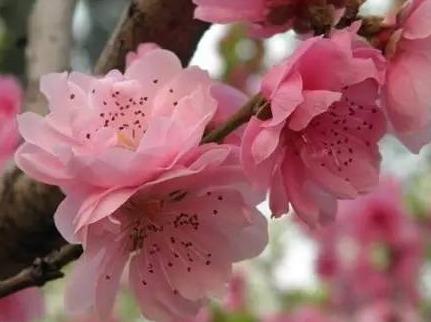 人间四月芳菲尽,金子山杜鹃始盛开