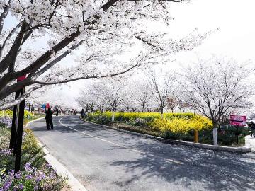 3月30号自驾相约千亩樱花园看樱雪