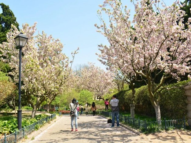 4月18-23日青岛樱花双飞6日游
