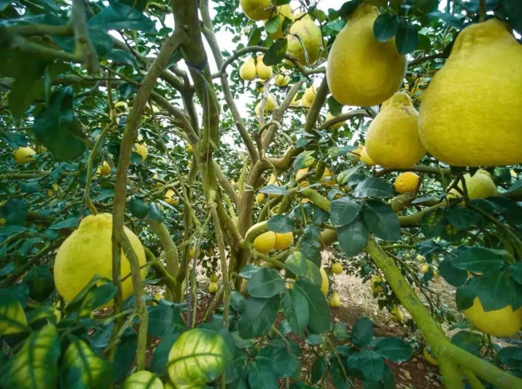 11月11容县摘柚子、民国小镇1日游