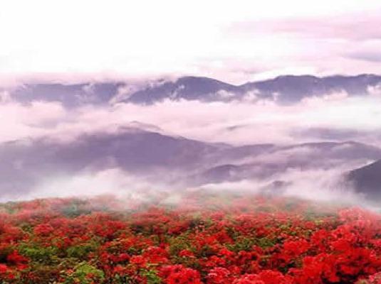 又见山里红 | 杜鹃谷●映山红(1日)