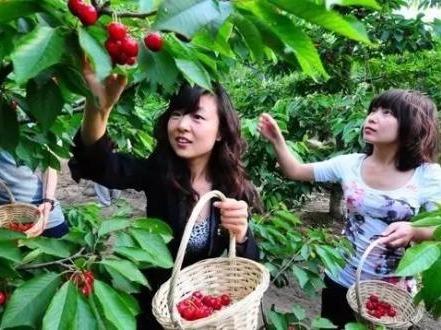 周末樱桃基地摘樱桃了,一起回归田园生活
