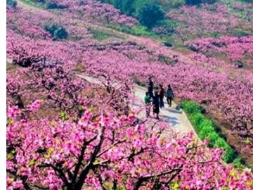 4.23周日 看满山樱花 徒步四明山