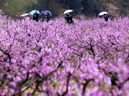 4月8日天台后岸十里桃花赤城山上披紫衣