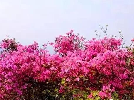 4.15周日看满山粉杜鹃,千年古寺一日游