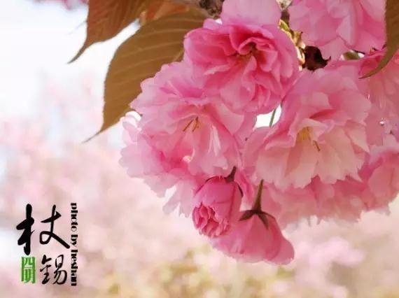 4.16周日 四明山樱花红枫之旅