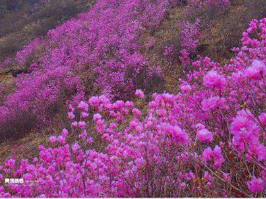 4月15号绿色营地户外带您岫岩观赏映山红