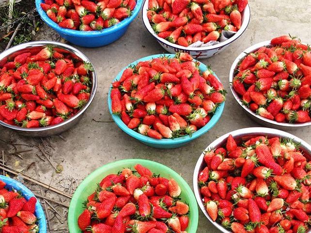 2月23日 草莓采摘一日游,第二人半价!