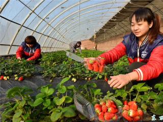 摘草莓活动