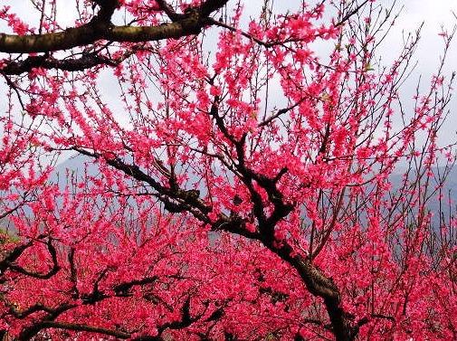 【春暖花开】3月12日连平万亩桃花朵朵开