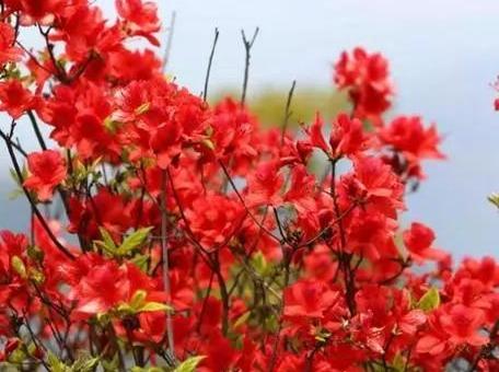 去瑞安圣井山风景名胜区看杜鹃花