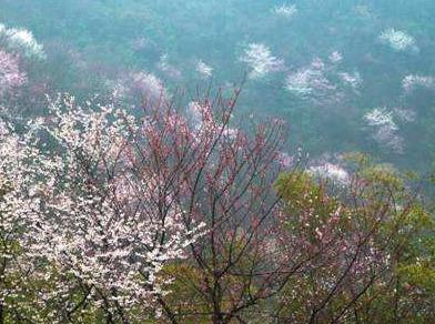 3.25徒步葛仙山赏万亩野樱花