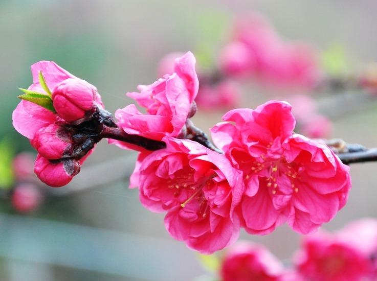 新丰樱花峪赏花 红樱烂漫陌上开