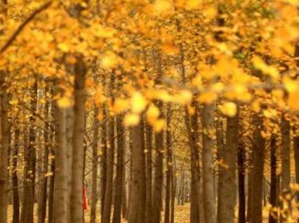 周六 漫步北京最大银杏林